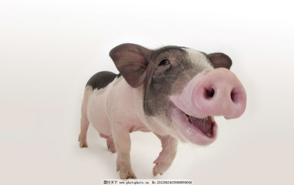 宠物小猪 猪 宠物猪 猪鼻子