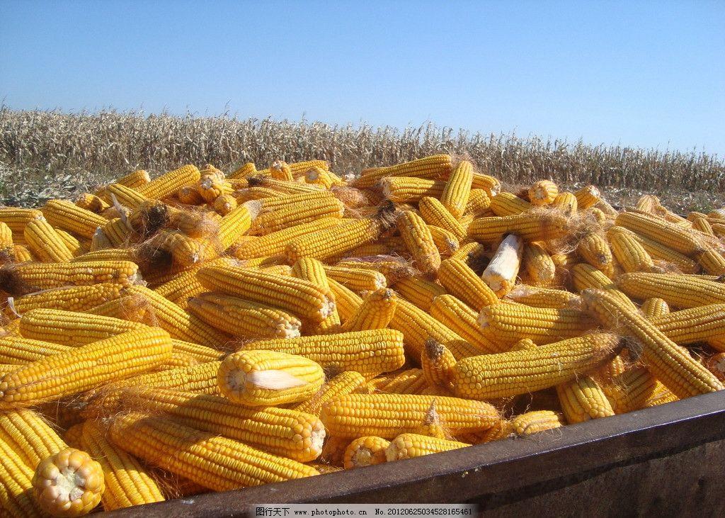丰收的玉米 玉米 秋天 丰收 蓝天 玉米杆 田园风光 自然景观 摄影 72d