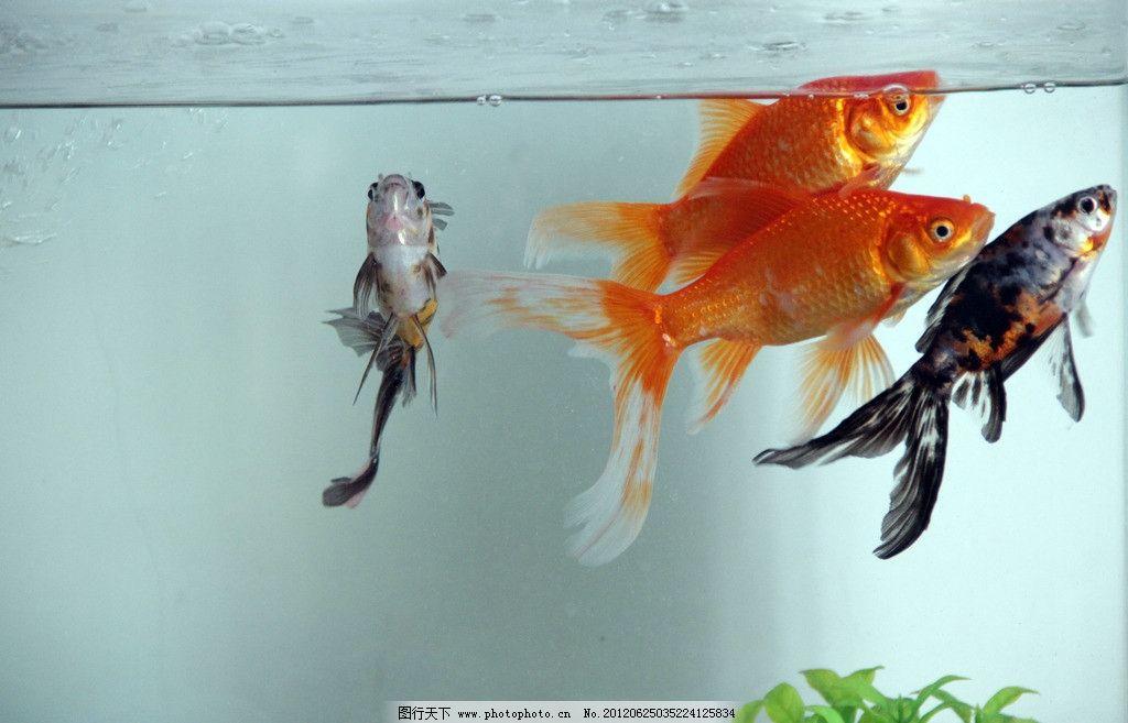 古风手绘红色锦鲤