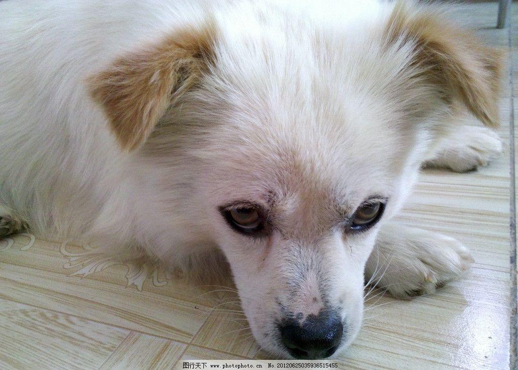 可爱狗儿 可爱 白狗狗 宠物 白狗 小狗 家禽家畜 生物世界 摄影 96dpi