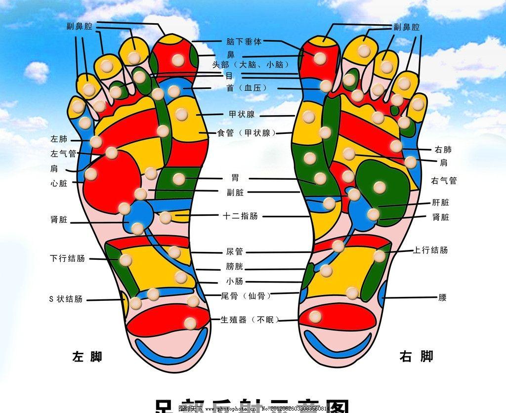 脚掌的结构名称图解