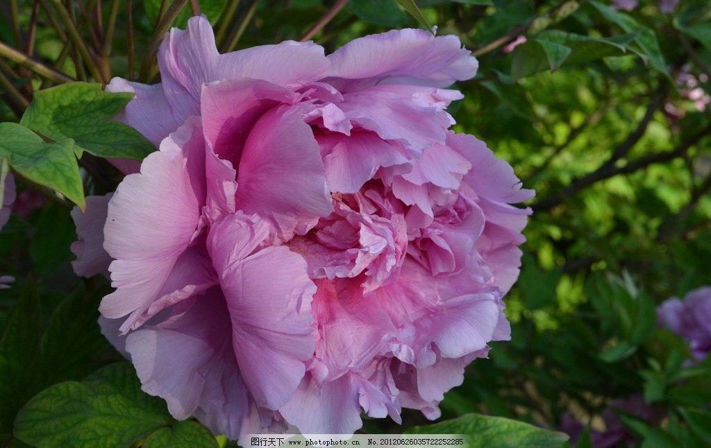 牡丹花 牡丹花卉 粉紫色