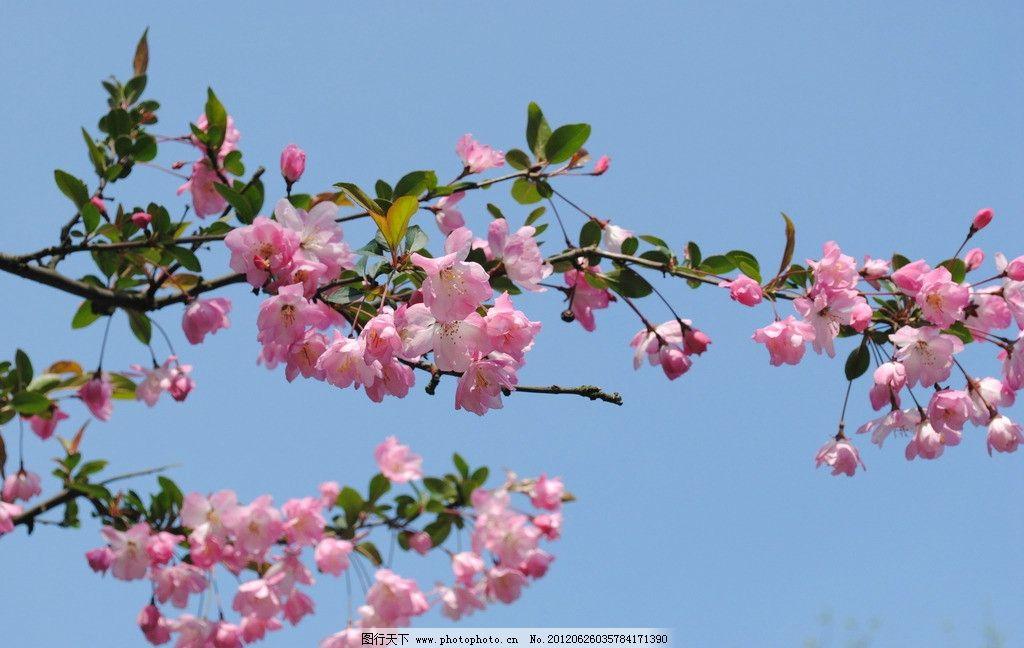 花朵 粉红色 蓝天 树枝 花草 生物世界 摄影 300dpi jpg
