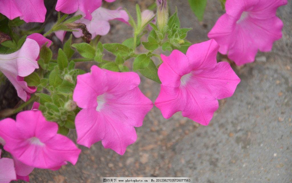 矮牵牛 花卉 碧冬茄 番薯花 花单生 花冠 漏斗状 单瓣 紫红色 花卉
