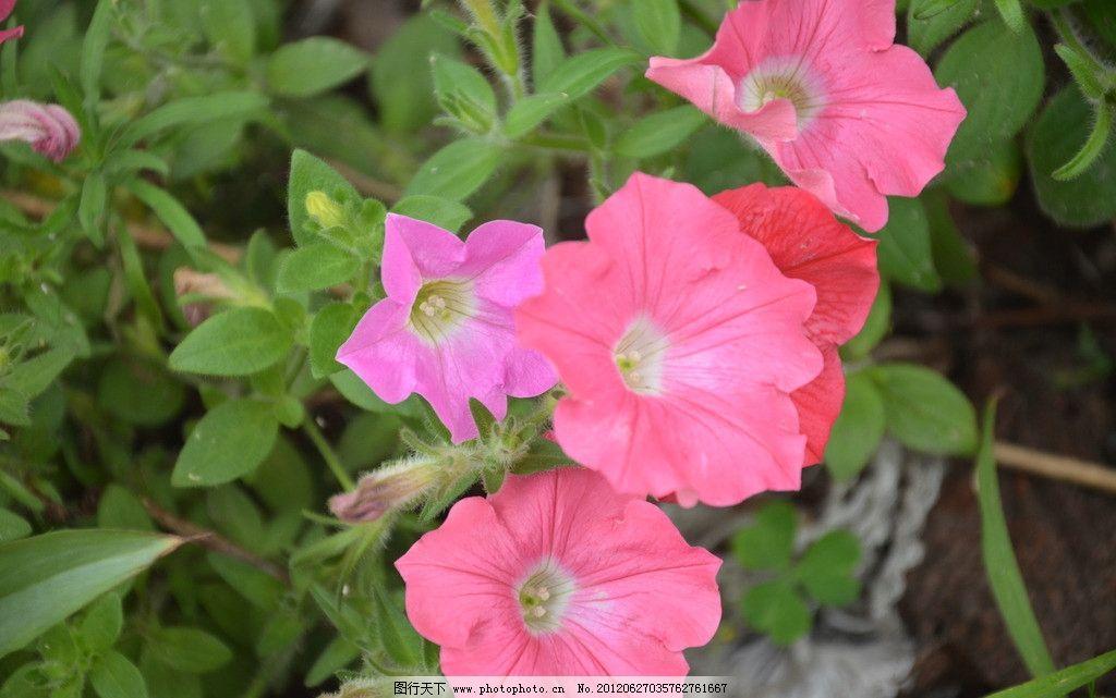 矮牵牛 花卉 碧冬茄 番薯花 花单生 花冠 漏斗状 单瓣 粉红色 花卉