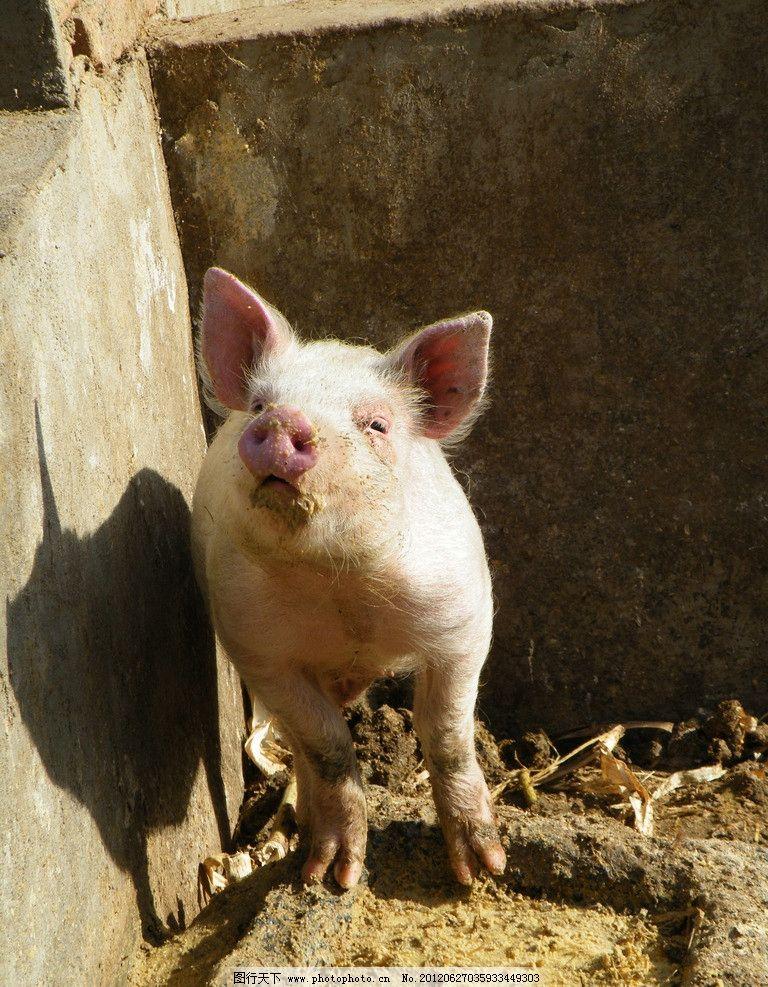 小白猪图片