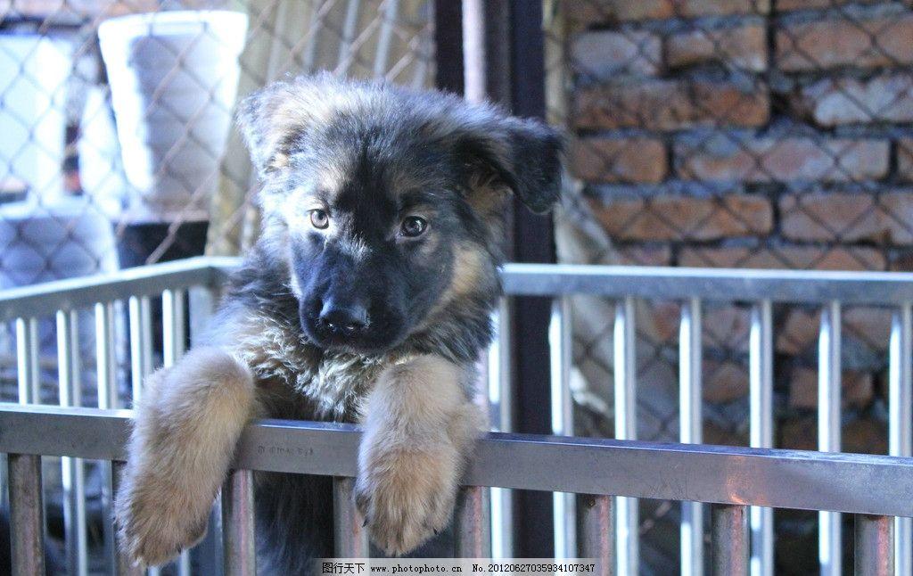 狗狗 小狗 小狼狗 黑色 发呆 张望 等待 宠物狗 站立 摄影