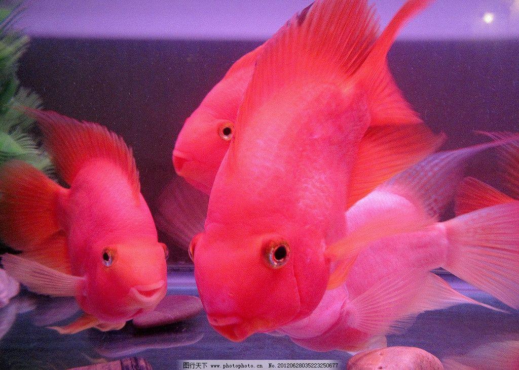 请问鹦鹉鱼适合跟什么鱼混养图片