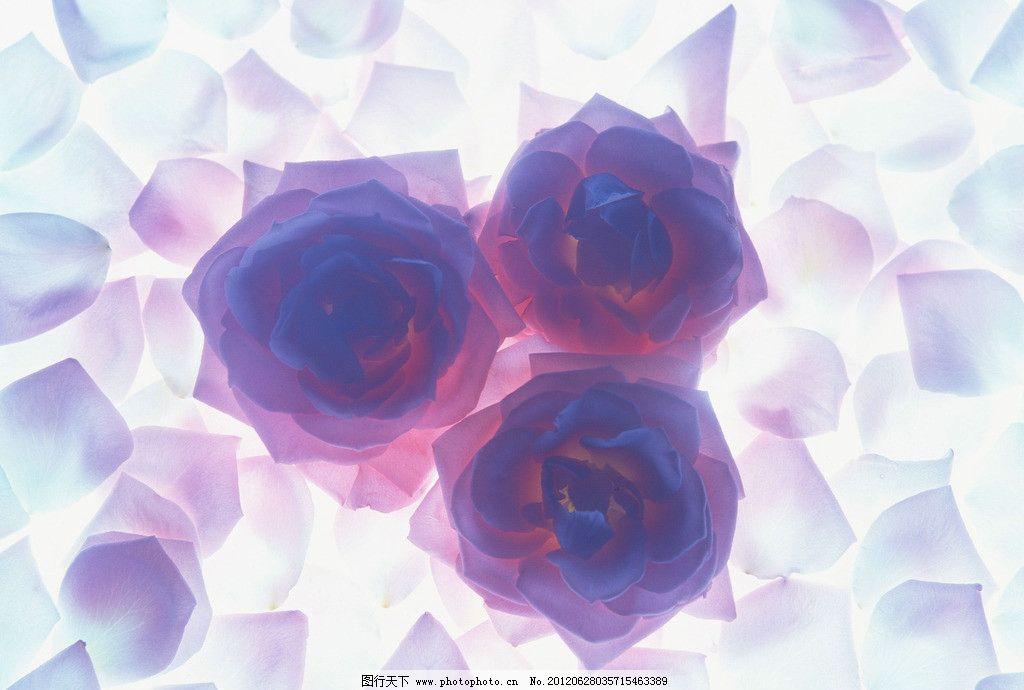 蓝玫瑰 玫瑰 花 叶子 花卉类 花草 生物世界 摄影 350dpi jpg