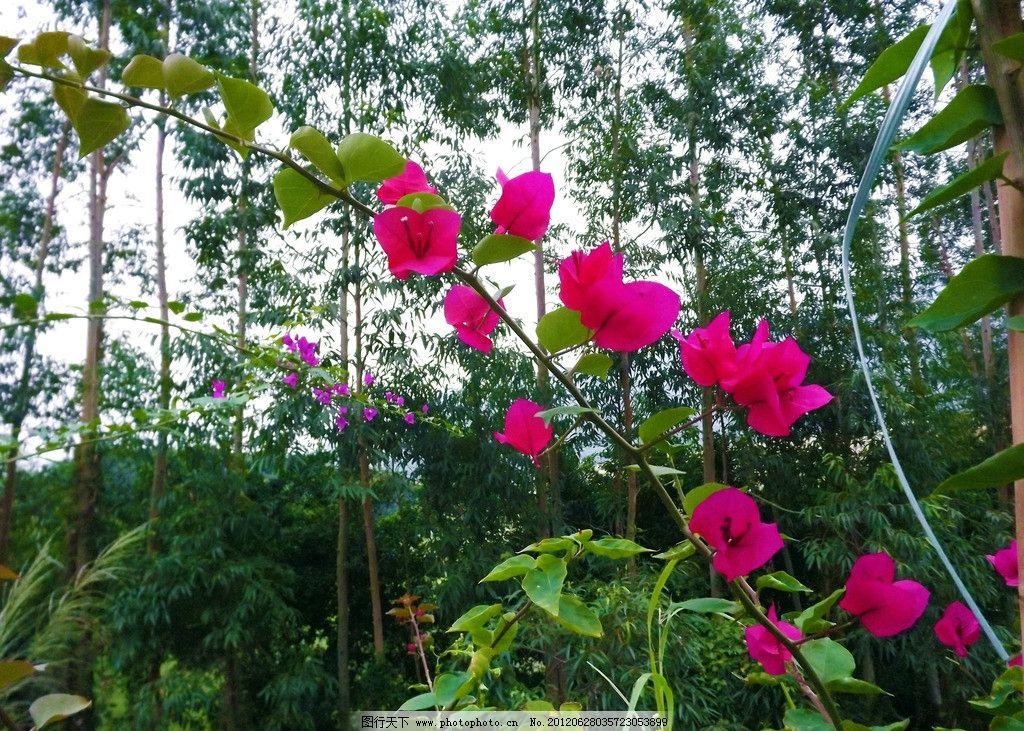 三角梅 紫色 紫红色 绿叶 摄影 花草 植物世界 花花草草 生物世界