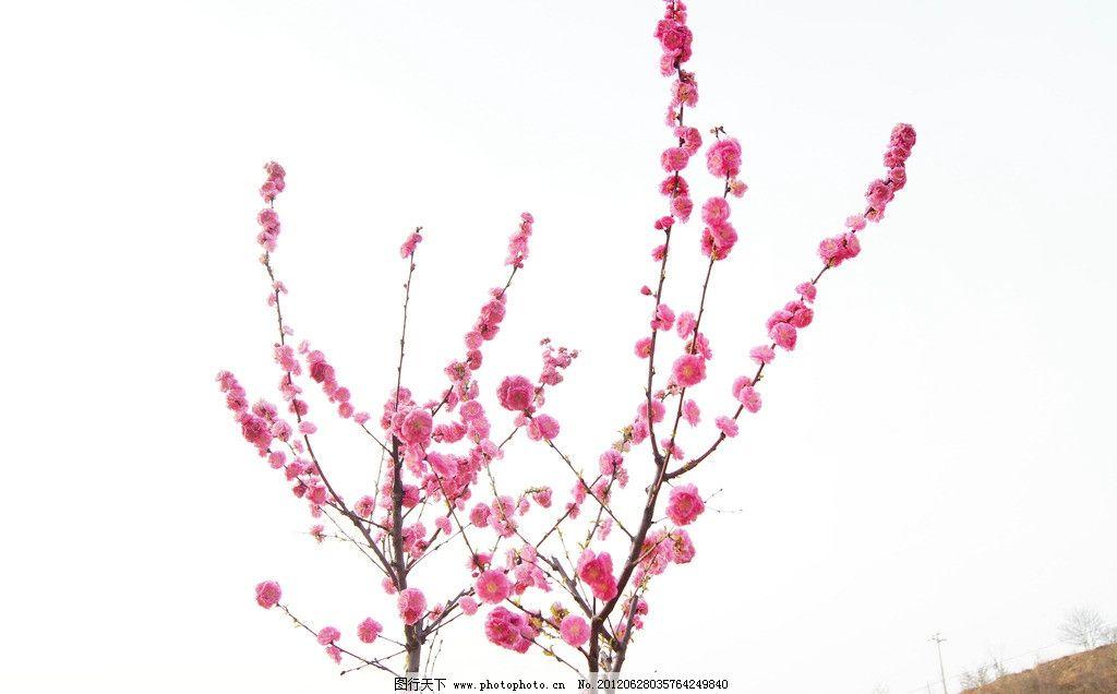 梅花 花卉 花朵 树枝 紫红 花草 生物世界 摄影 350dpi jpg