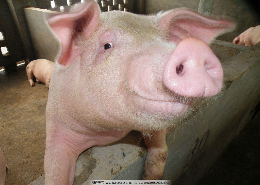 微笑的猪 小猪 可爱的猪 家禽家畜 生物世界 摄影 72dpi jpg