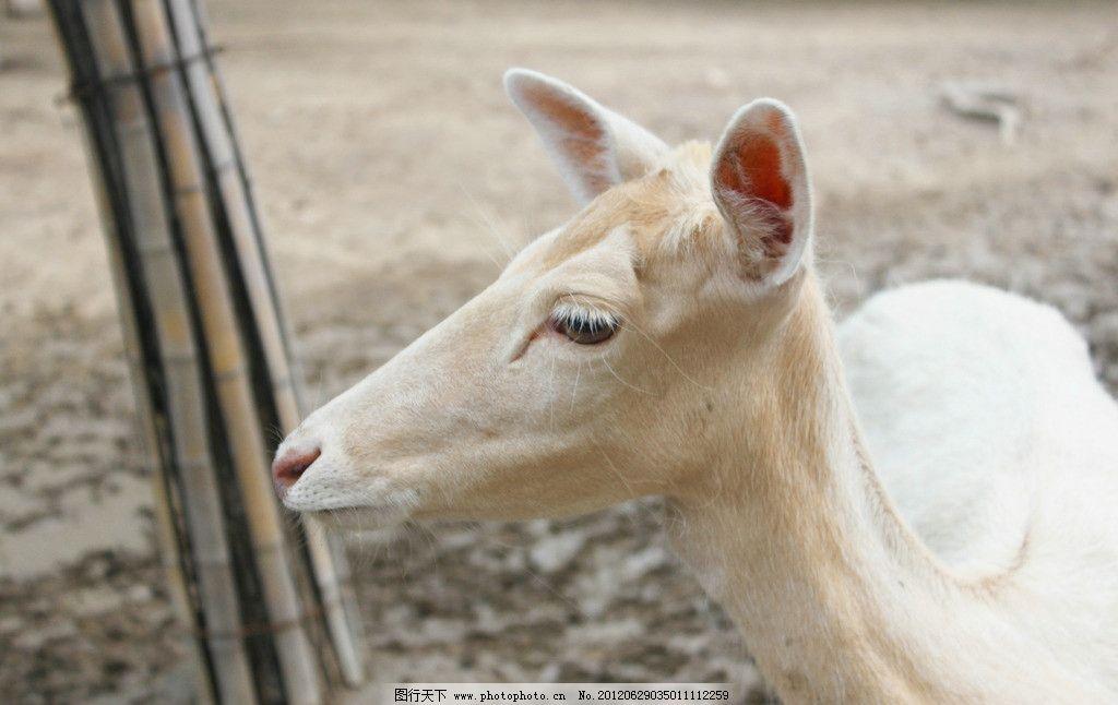 白鹿 鹿 动物 动物园 野生动物 生物世界 摄影 300dpi jpg