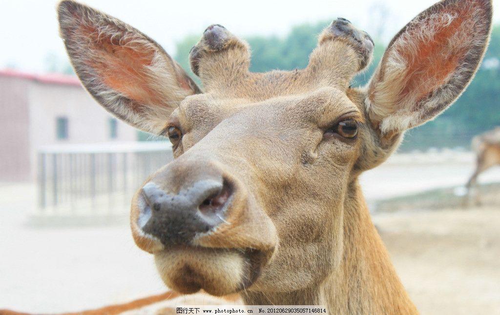 驯鹿 动物 动物园 野生动物 生物世界 摄影