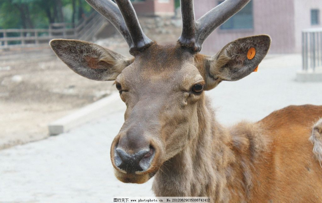 驯鹿 动物 动物园 摄影