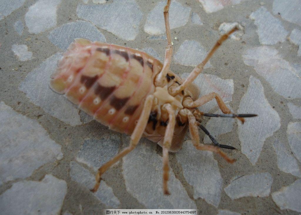 臭大姐 臭屁虫 蝽科 椿象 椿 臭名远扬 臭姑娘 昆虫 生物 动物世界