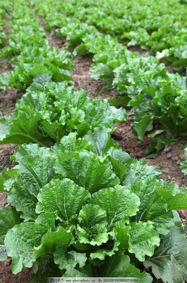 白菜 大白菜 植物 蔬菜 生长 自然 新鲜 食品 农副产品 菜地