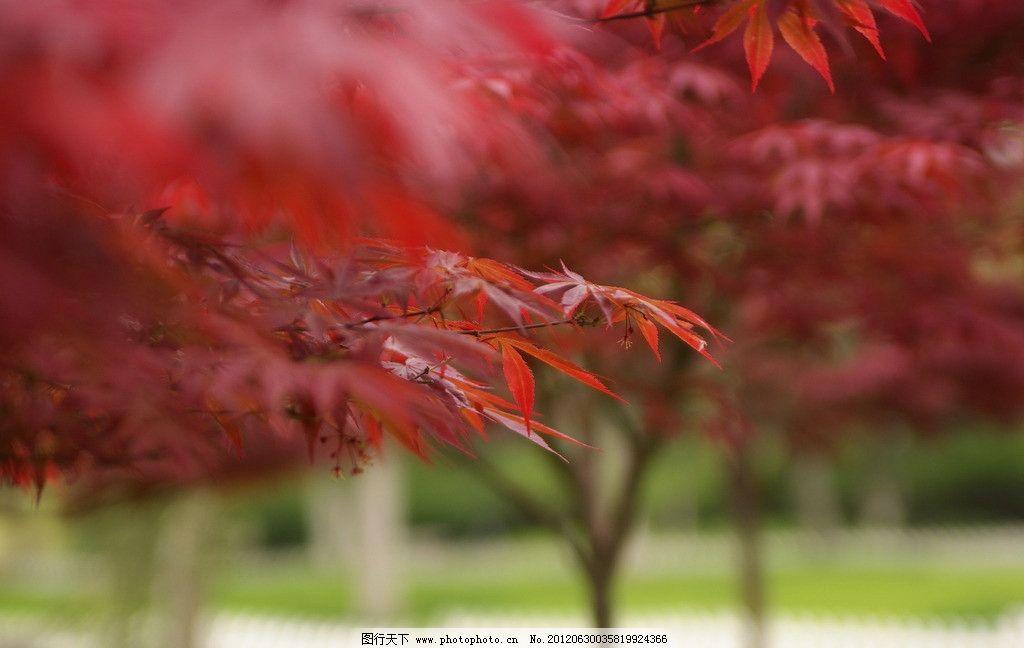 红枫树 枫叶 红枫 枫树